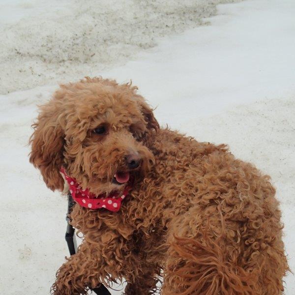Our Havanese cross breed - Les chiens du ÔRanch